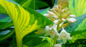 Wilsonville Garden Club meets at Sebright Gardens on Aug 4th.  Hosta Heaven!