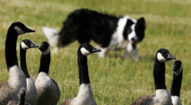 The Dogs vs the Geese Fundraiser!  Sept 21st.  Signup for the match play tournament today!