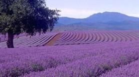 Oregon Lavender Festival. July 10-12.