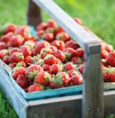 Where to U-Pick Fresh Oregon Strawberries
